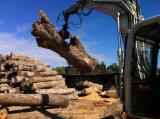 Camphor Laurel Logs