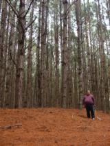 See Woodlands For Sale Worldwide. Buy Directly From Forest Owners - Taeda Pine