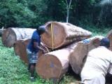 Tropical Wood  Logs - Afrormosia saw logs for sale