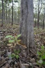 Tropsko Drvo  Trupci - Za Rezanje, Teak, Panama