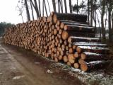 France Softwood Logs - Maritime Pine Saw Logs from France, 2.40 m long