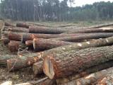 Find best timber supplies on Fordaq - BNE (BOIS NEGOCE ENERGIE) - Maritime Pine Logs, diameter 30+ cm