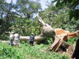 Stablo Za Rezanje I Projektiranje  Sjeverna Amerika - Rekonstituisani Bulovi