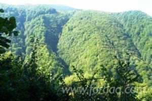 Beech-%28Europe%29-Woodland-in-Romania-150