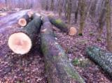 Hardwood  Logs Poland - Saw Logs, Oak (European)