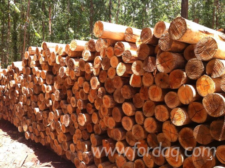 Eucalyptus Saw Logs, Diameter 12-30 Cm