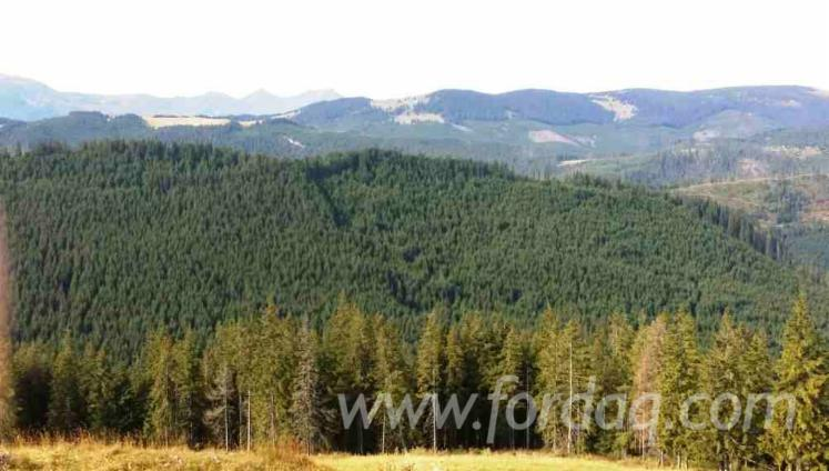 Spruce-%28Picea-Abies%29---Whitewood-Woodland-from-Romania-12800000-m2