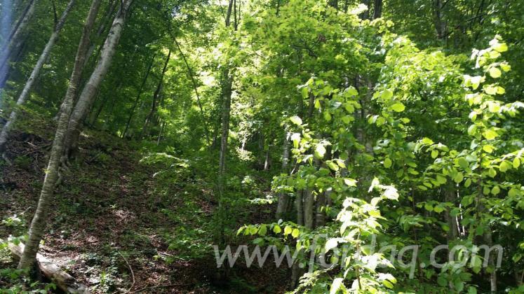 Beech--Woodland-from-Romania-10757200-m2