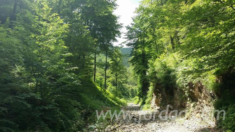 Beech-%28europe%29-Woodland-from-Romania-4530000-m2
