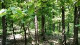 Woodland for sale. Wholesale Woodland exporters - Oak (European) Woodland from Romania 2000000 m2 (sqm)