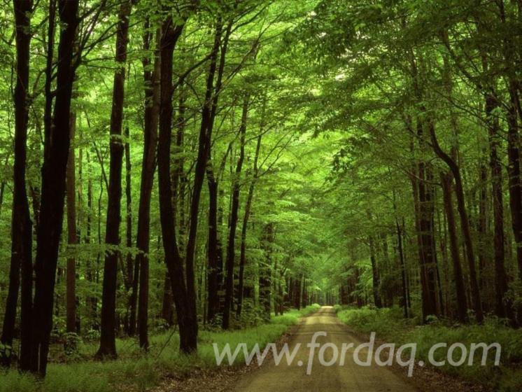 Beech-%28Europe%29-Woodland-from-Romania-1000000-m2