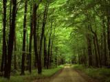 Woodlands - Romania, Grand fir