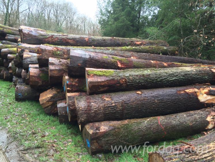40--m-Oak-%28european%29-Saw-Logs-in