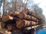 50+ cm Oak (European) Saw Logs in France