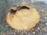 Hardwood  Logs For Sale Poland - Saw Logs, Oak (European), PEFC/FFC
