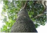 Schnittholzstämme, Ebony , Mosambik