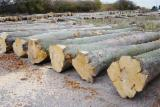 Thailand Hardwood Logs - Beech Round Wood Logs Fresh Cut