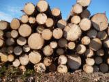 Softwood  Logs Mongolian Scotch Pine Pinus Sylvestris For Sale Ukraine - Saw Logs, Spruce/Pine