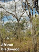 Grenadillo (Ebenholz Aus Mosambik, Blackwood), Mosambik