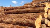Tropsko Drvo  Trupci - Za Rezanje, Pine, Panama