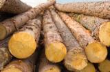 Fresh Cut Pine Logs (Pinus sylvestris) Round Logs