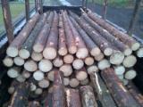 European Spruce Logs/Fresh Cuts Logs