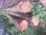 Tvrdo Drvo  Trupci - Za Rezanje, Crveni američki Hrast (porijeklo:Evropa)