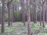 Standing Timber - Pochote, Bombacopsis quinata. Vendo 233 m3