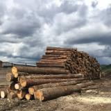 Softwood  Logs - Saw Logs, Mongolian Scotch Pine (Pinus Sylvestris)