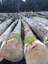 Netherlands Hardwood Logs - European Maple / Sycamore logs