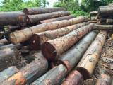 Tropical Wood  Logs - Saw Logs, Basralocus (Angélique, Guiana teak, Angelica do Para, Tapaiuna)
