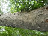 Tropical Wood  Logs - Saw Logs, Tali (Missanda, Elune, Muave, Kassa)