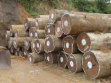 Tropical Wood  Logs - A/B (first), 70+ cm, Afrormosia (Assamela, Obang), Saw Logs