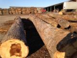 Hardwood  Logs For Sale - Saw Logs, Oak (American Red - Origin: Europe)