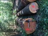 Germany Softwood Logs - Douglas Fir Logs