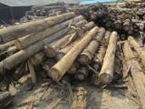 Tropical Wood  Logs - Purchase Eucalyptus logs