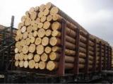 Softwood  Logs - Mongolian Scotch Pine (Pinus Sylvestris), 20-25; 26-35; 36+ cm, АВС, Saw Logs