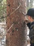 null - Kłody Tartaczne, Daglezja Zielona, Jodła Jednobarwna Kalifornijska , Ponderosa Pine