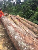 Tropical Logs for sale. Wholesale Tropical Logs exporters - Tali logs