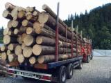 Spruce  - Whitewood Softwood Logs - Spruce (Picea abies) - Whitewood, 28+ mm, AB, Saw Logs