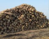 Softwood Logs for sale. Wholesale Softwood Logs exporters - Pine (Pinus sylvestris) - Redwood, 18+ mm, gater, Saw Logs