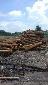 Tropsko Drvo  Trupci - Konusno oblikovani okrugle grede, ACACIA AURICULIFORMIS