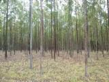 Standing Timber for sale. Wholesale Standing Timber exporters - Eucalyptus