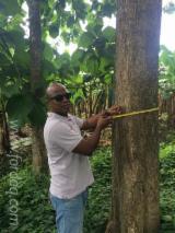 Tropical Wood  Logs - Reject veneer logs 45-120 cm Teak Saw Logs in Colombia