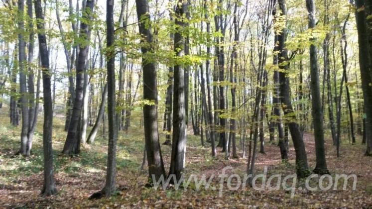 Oak-%28European%29-Woodland-in-Romania-26000-m2