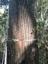 Dubeće Drvo Bez Certifikata - sa Ekvador, Crveni Zapadni Kedar (WRC)