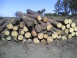 Teak Tropical Logs - Selling of Teak logs (Plurijuga)