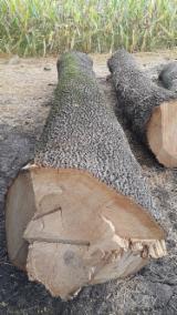 30 cm European White Ash Saw Logs in Serbia