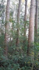 Hardwood  Logs - 20  cm Poplar, I214 Clone Veneer Logs in Romania