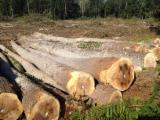 30+ cm Poplar Peeling Logs in France